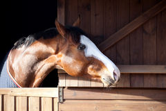 Thoroughbred horse looking out of stable. Royalty Free Stock Photo