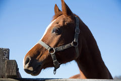 Thoroughbred horse looking over wooden corral fence Royalty Free Stock Image