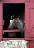 Thoroughbred Horse. A thoroughbred horse looks out the stall door in a red barn stock photos