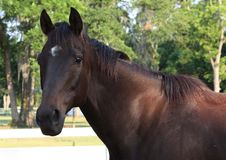 Thoroughbred Horse. In paddock on a summer's evening Royalty Free Stock Photography