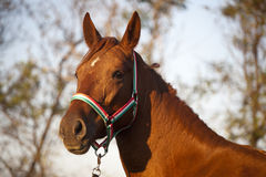 Thoroughbred horse portrait when the sun goes down Royalty Free Stock Photo
