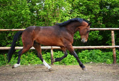 Thoroughbred horse runs in farm Royalty Free Stock Image