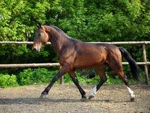 Thoroughbred horse runs in farm Stock Photo