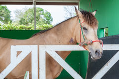 Thoroughbred horse standing in the barn door stable. Royalty Free Stock Image