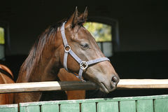 Thoroughbred horse standing in the stable door Royalty Free Stock Photo