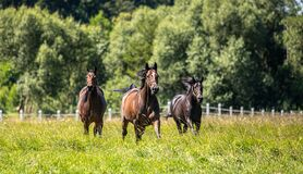 Thoroughbred horses gallop across the meadow