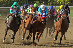 Free Thoroughbred Horses Head Down The Homestretch Stock Image - 18730101