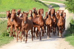 Thoroughbred horses. Herd of horses running trough the farm. Group of beautiful youngsters galloping together at animal farm rural scvene summertime stock photography