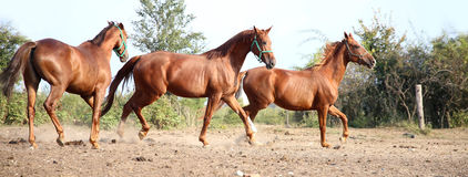 Thoroughbred horses running free. Purebred young hungarian gidran stallions canter in summer corral Stock Photos