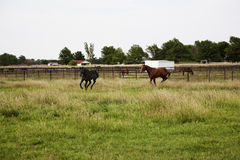 Thoroughbred horses running and playing in a field Royalty Free Stock Images