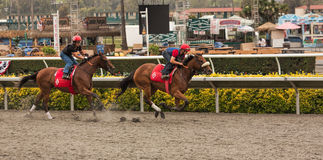 Thoroughbred horses warming up big race Royalty Free Stock Images