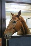 Thoroughbred koń Zdjęcia Royalty Free