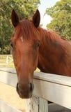 Thoroughbred koń Obraz Royalty Free