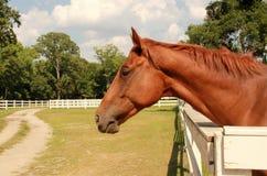 Thoroughbred koń Obrazy Royalty Free