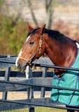 Thoroughbred koń Fotografia Royalty Free