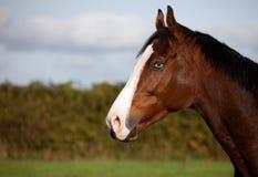 Thoroughbred koń z niebieskim okiem Fotografia Royalty Free