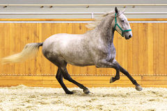Thoroughbred lipizzan horse canter empty riding hall Stock Photo