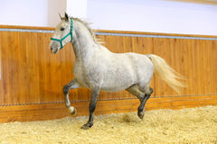 Thoroughbred lipizzan horse canter empty riding hall Stock Images