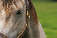 Thoroughbred Mare Stock Photos