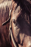 Thoroughbred Mare Royalty Free Stock Image