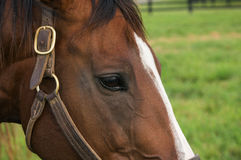 Thoroughbred Mare Stock Photo