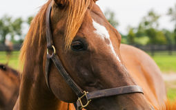 Thoroughbred Mare Stock Images