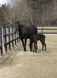 Thoroughbred mare and colt Stock Photo