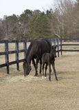 Thoroughbred mare and colt Royalty Free Stock Photo