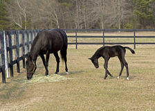 Thoroughbred mare and colt Stock Image
