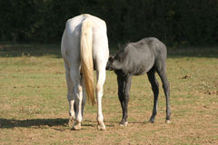 Thoroughbred mare and foal breastfeeding in the field Royalty Free Stock Image