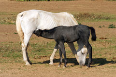 Thoroughbred mare and foal breastfeeding in the field rural scen Royalty Free Stock Photos