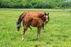 Thoroughbred Mare And Foal Stock Images
