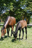 Thoroughbred mare and foal in pasture following mother. Stock Image
