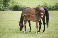 Thoroughbred mare and foal in pasture following mother. Royalty Free Stock Images
