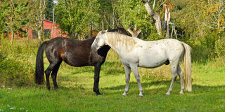 Thoroughbred mare and stallion ordinary. Stallion gently bites mare Stock Photography