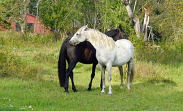 Thoroughbred mare and stallion ordinary. Tenderness Royalty Free Stock Image