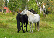 Thoroughbred mare and stallion ordinary. Tenderness Royalty Free Stock Photography