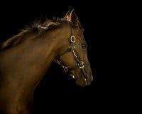 Thoroughbred-Pferd auf schwarzem Hintergrund Lizenzfreie Stockfotos