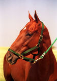 Thoroughbred Polo Horse. Rich red sorrel Thoroughbred gelding, polo pony, well groomed and clipped, wearing green halter, tied to trailer between chukkers Stock Photo