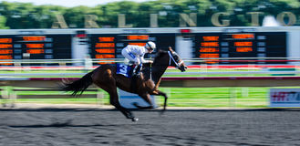 Thoroughbred race horse. Running at Arlington Park Race Track Arlington Heights Illinois Royalty Free Stock Images