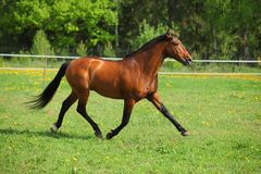 Thoroughbred horse runs on a green meadow. Thoroughbred race horse runs on a green spring meadow Royalty Free Stock Photo
