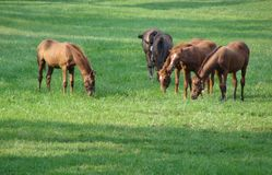 Thoroughbred Race Horses Feeding on Grass in Field stock photo