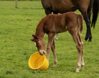 Horse and foal in the evening sun having fun stock images