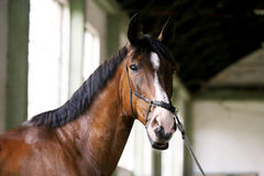Thoroughbred racehorse posing for camera in empty riding hall. Racehorse looking at the camera in the  riding hall Stock Photos