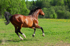 Thoroughbred racehorse runs on a green summer meadow Royalty Free Stock Photos