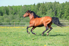 Thoroughbred racer runs on a green summer meadow Royalty Free Stock Photo