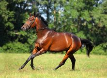 Thoroughbred racer runs on a green summer meadow Stock Image