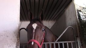 Thoroughbred racing horse backs into stall stock footage