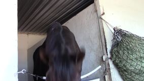 Funny thoroughbred racing horse nods approval stock video