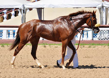 Thoroughbred red horse on awarding after a race Stock Photography